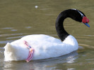 Black-Necked Swan (Slimbridge October 2008)